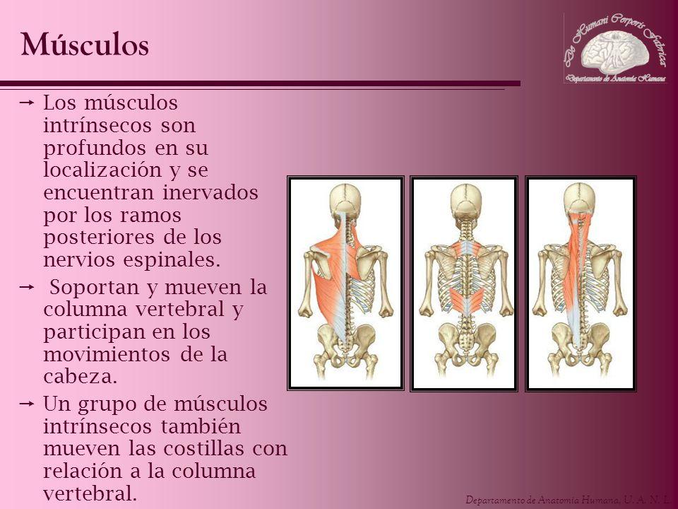 Departamento de Anatomía Humana, U. A. N. L. Los músculos intrínsecos son profundos en su localización y se encuentran inervados por los ramos posteri