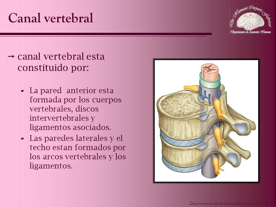 Departamento de Anatomía Humana, U. A. N. L. canal vertebral esta constituido por: - La pared anterior esta formada por los cuerpos vertebrales, disco