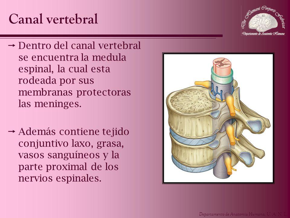 Departamento de Anatomía Humana, U. A. N. L. Dentro del canal vertebral se encuentra la medula espinal, la cual esta rodeada por sus membranas protect