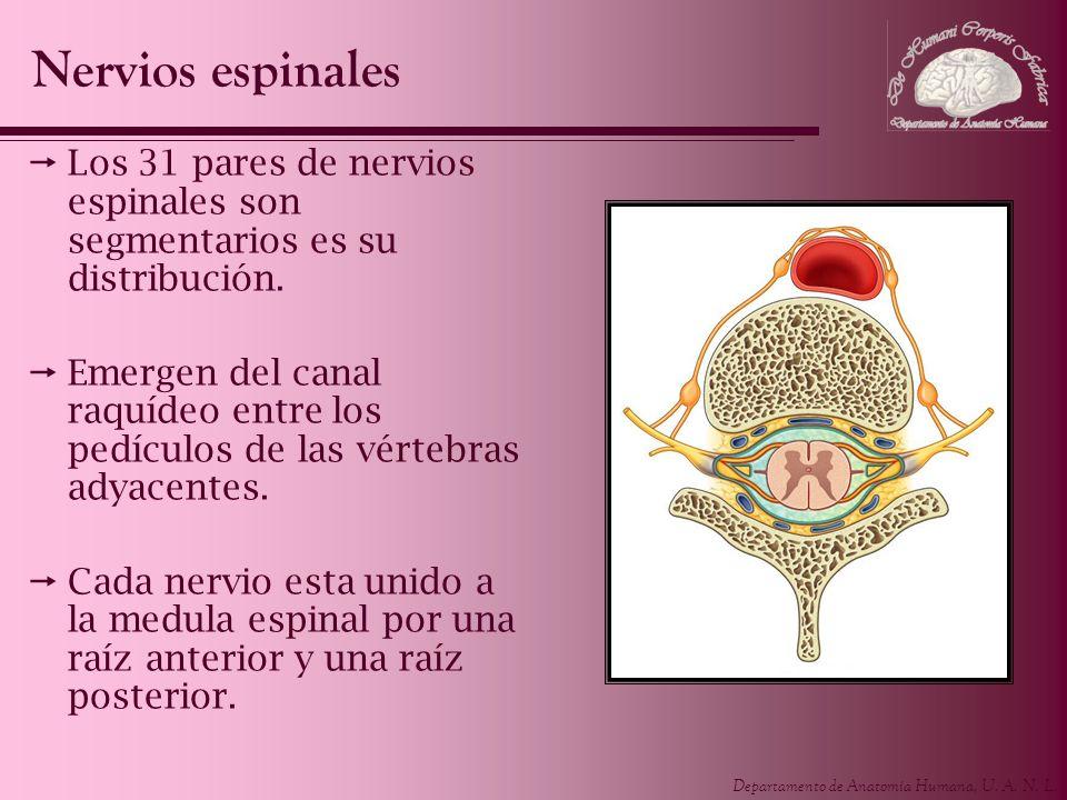 Departamento de Anatomía Humana, U. A. N. L. Los 31 pares de nervios espinales son segmentarios es su distribución. Emergen del canal raquídeo entre l