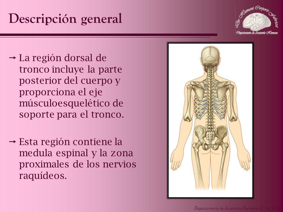 Departamento de Anatomía Humana, U. A. N. L. La región dorsal de tronco incluye la parte posterior del cuerpo y proporciona el eje músculoesquelético