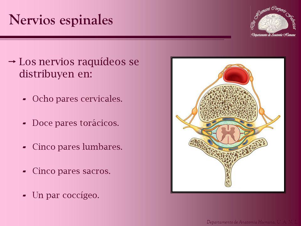 Departamento de Anatomía Humana, U. A. N. L. Los nervios raquídeos se distribuyen en: - Ocho pares cervicales. - Doce pares torácicos. - Cinco pares l
