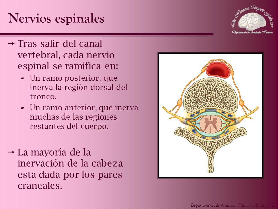 Departamento de Anatomía Humana, U. A. N. L. Tras salir del canal vertebral, cada nervio espinal se ramifica en: - Un ramo posterior, que inerva la re