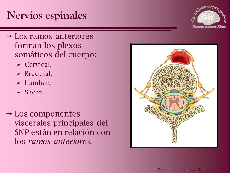 Departamento de Anatomía Humana, U. A. N. L. Los ramos anteriores forman los plexos somáticos del cuerpo: - Cervical. - Braquial. - Lumbar. - Sacro. L