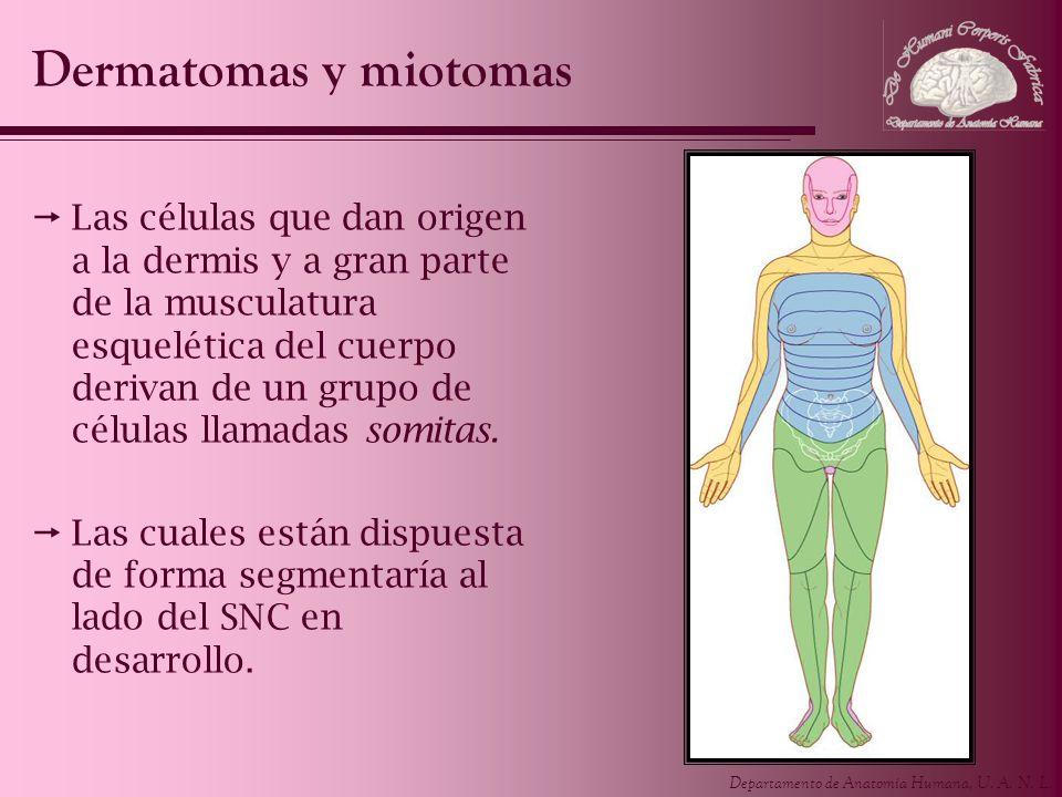 Departamento de Anatomía Humana, U. A. N. L. Las células que dan origen a la dermis y a gran parte de la musculatura esquelética del cuerpo derivan de