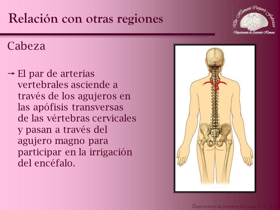 Departamento de Anatomía Humana, U. A. N. L. Cabeza El par de arterias vertebrales asciende a través de los agujeros en las apófisis transversas de la