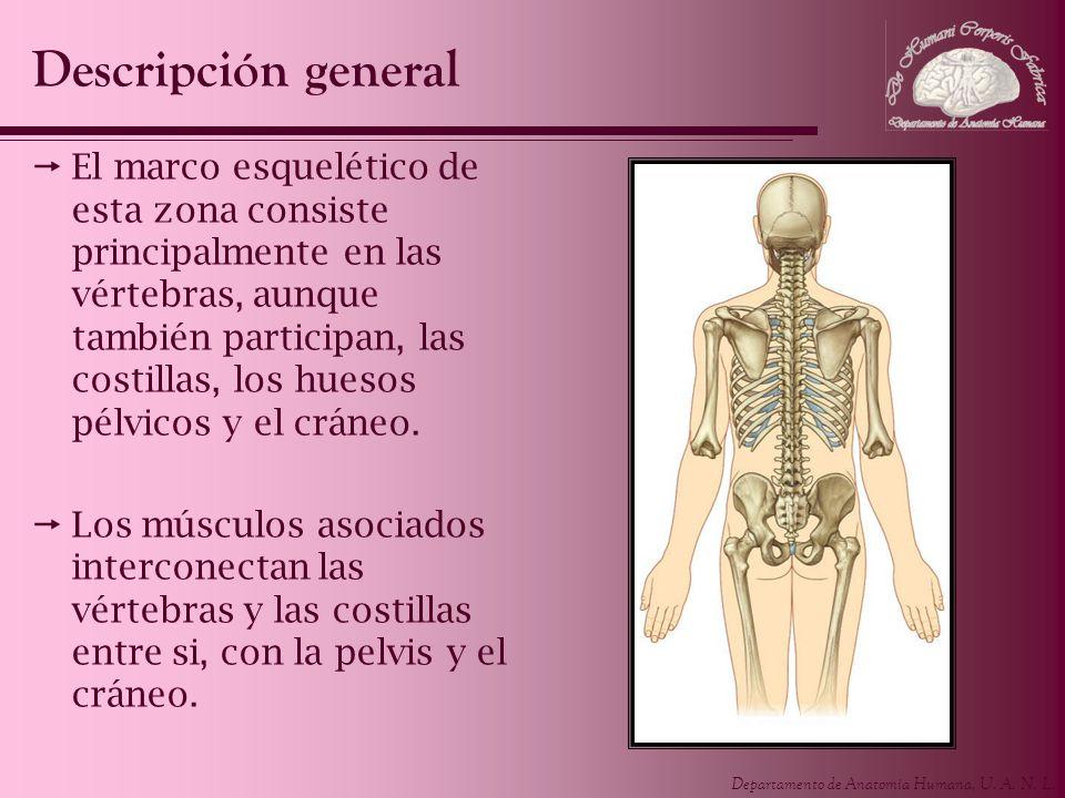 Departamento de Anatomía Humana, U. A. N. L. El marco esquelético de esta zona consiste principalmente en las vértebras, aunque también participan, la