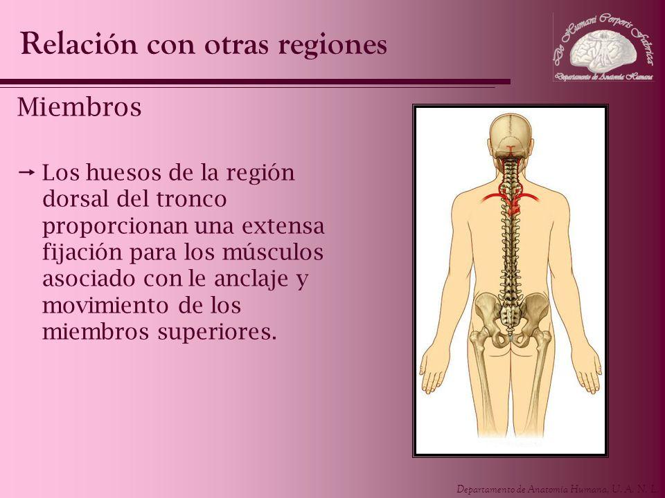 Departamento de Anatomía Humana, U. A. N. L. Miembros Los huesos de la región dorsal del tronco proporcionan una extensa fijación para los músculos as