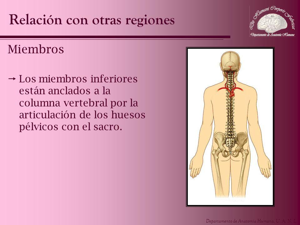 Departamento de Anatomía Humana, U. A. N. L. Miembros Los miembros inferiores están anclados a la columna vertebral por la articulación de los huesos