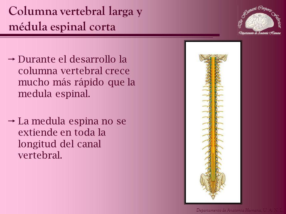Departamento de Anatomía Humana, U. A. N. L. Durante el desarrollo la columna vertebral crece mucho más rápido que la medula espinal. La medula espina