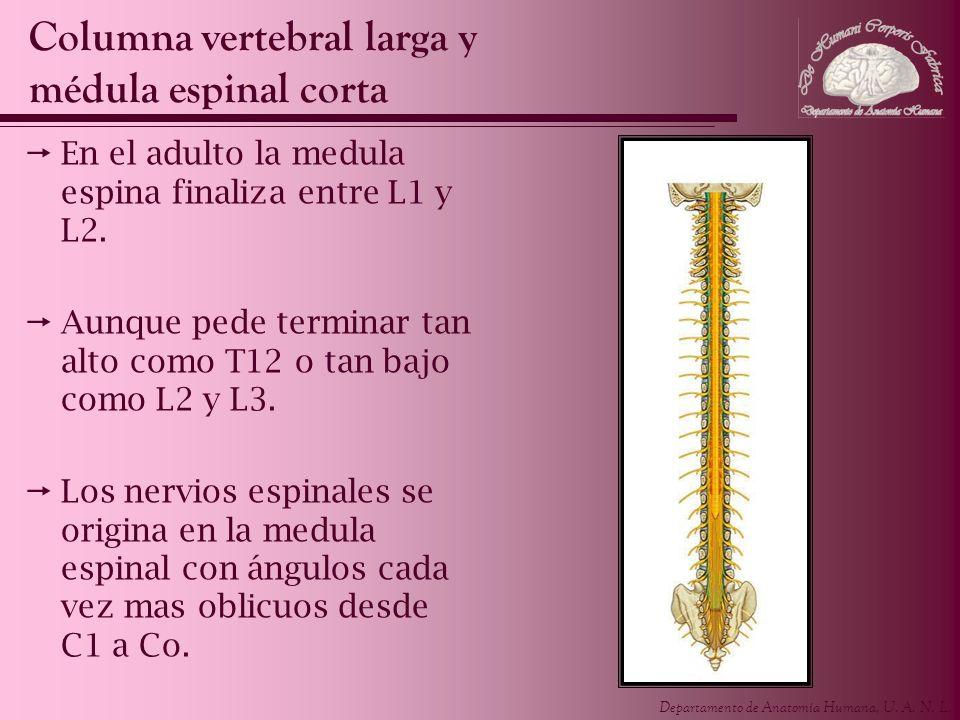Departamento de Anatomía Humana, U. A. N. L. En el adulto la medula espina finaliza entre L1 y L2. Aunque pede terminar tan alto como T12 o tan bajo c