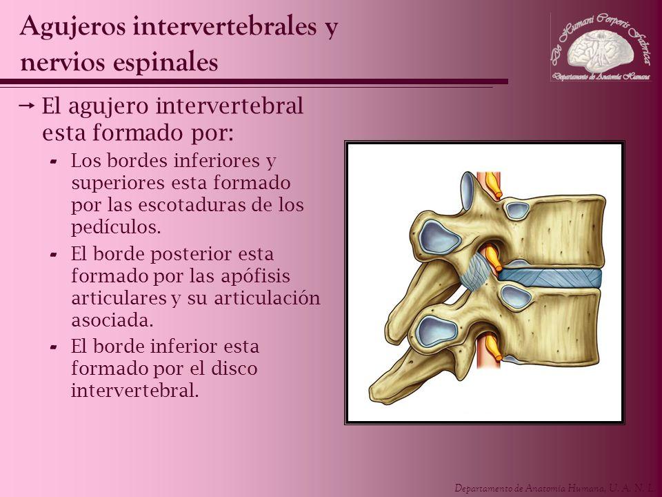 Departamento de Anatomía Humana, U. A. N. L. El agujero intervertebral esta formado por: - Los bordes inferiores y superiores esta formado por las esc