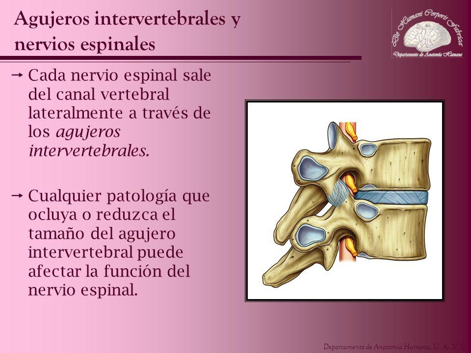Departamento de Anatomía Humana, U. A. N. L. Cada nervio espinal sale del canal vertebral lateralmente a través de los agujeros intervertebrales. Cual