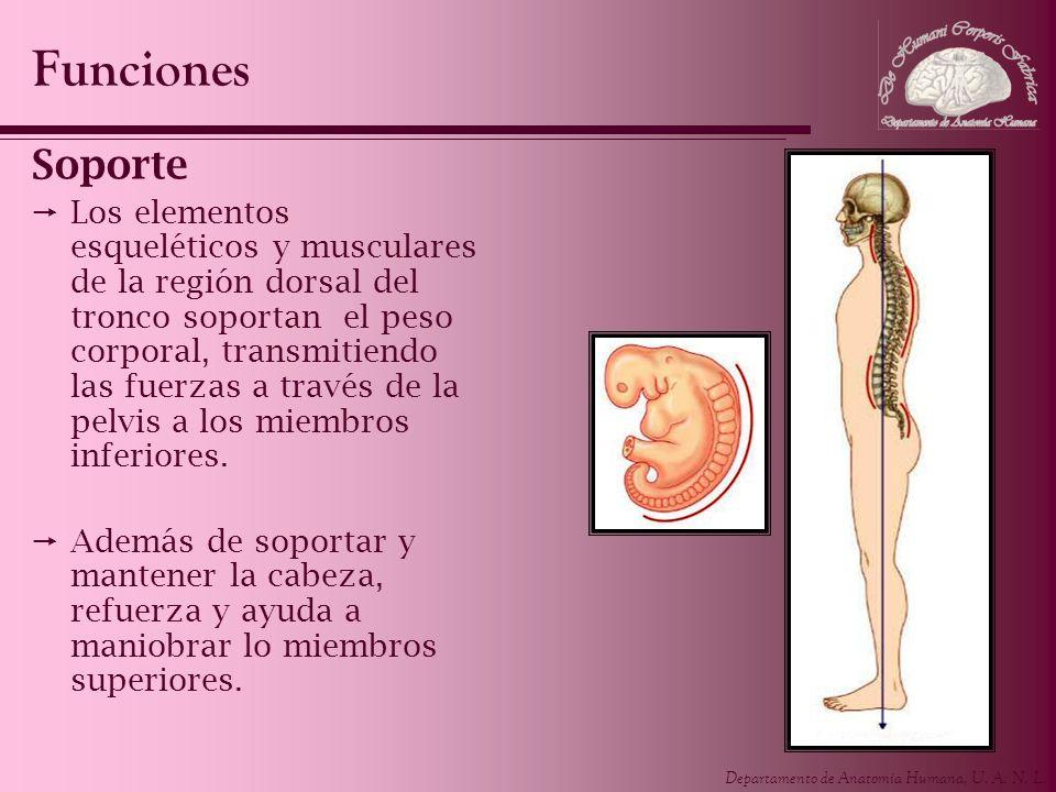 Departamento de Anatomía Humana, U. A. N. L. Soporte Los elementos esqueléticos y musculares de la región dorsal del tronco soportan el peso corporal,