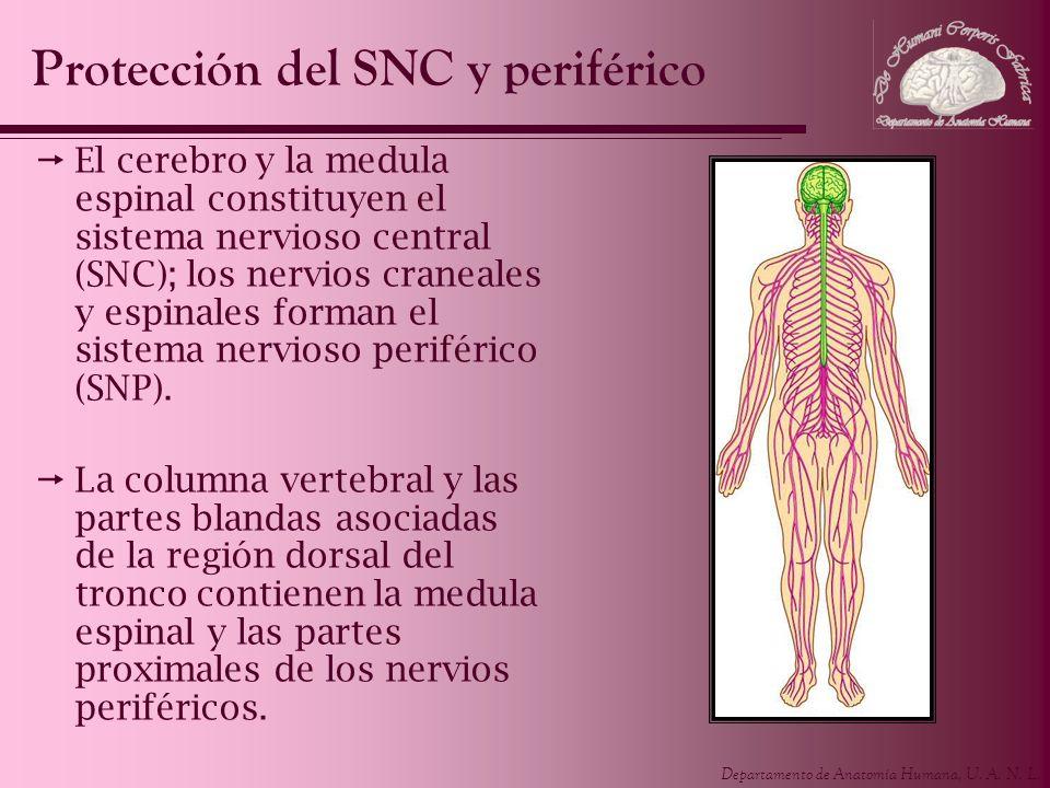 Departamento de Anatomía Humana, U. A. N. L. El cerebro y la medula espinal constituyen el sistema nervioso central (SNC); los nervios craneales y esp