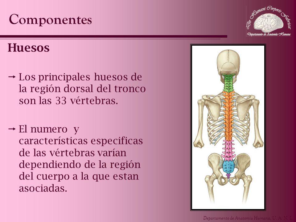 Departamento de Anatomía Humana, U. A. N. L. Huesos Los principales huesos de la región dorsal del tronco son las 33 vértebras. El numero y caracterís