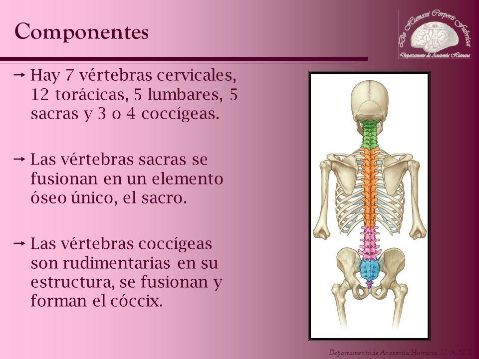 Departamento de Anatomía Humana, U. A. N. L. Hay 7 vértebras cervicales, 12 torácicas, 5 lumbares, 5 sacras y 3 o 4 coccígeas. Las vértebras sacras se