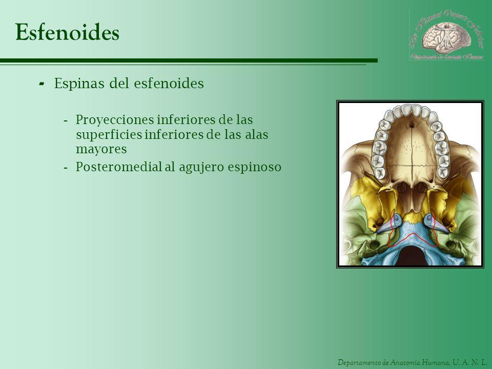 Departamento de Anatomía Humana, U. A. N. L. Esfenoides - Espinas del esfenoides -Proyecciones inferiores de las superficies inferiores de las alas ma