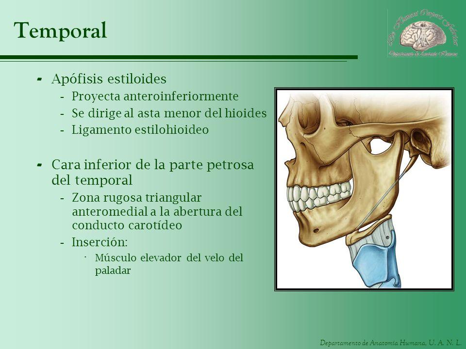 Departamento de Anatomía Humana, U. A. N. L. Temporal - Apófisis estiloides -Proyecta anteroinferiormente -Se dirige al asta menor del hioides -Ligame