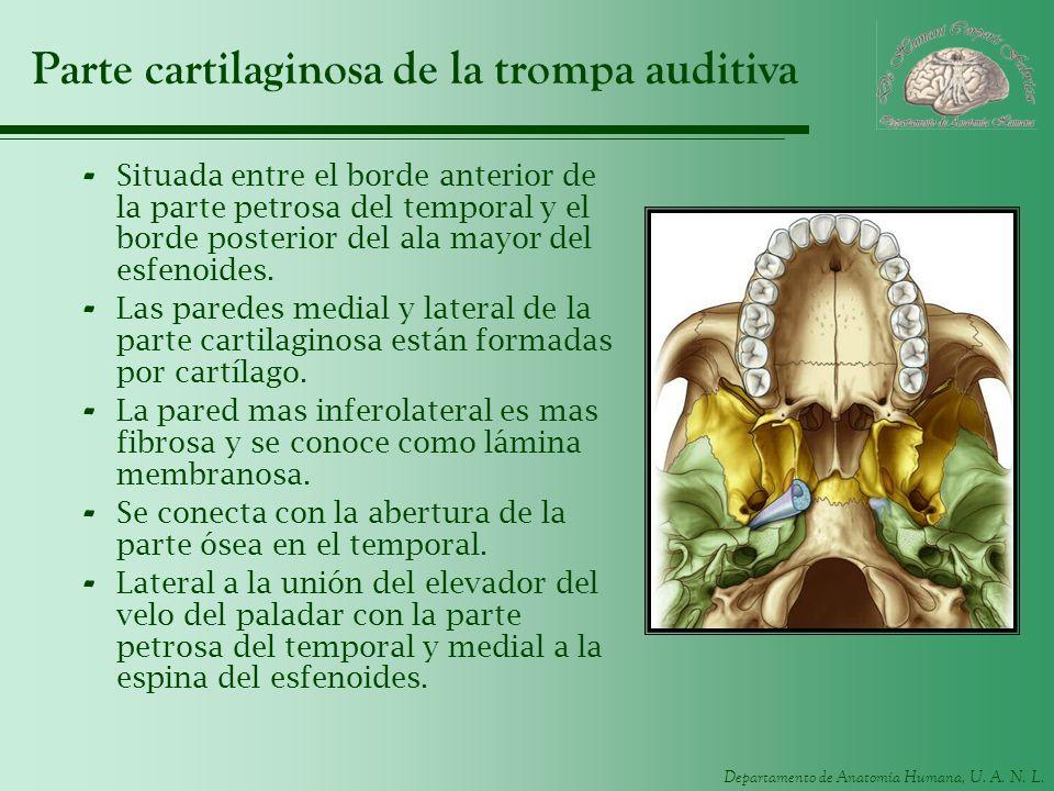 Departamento de Anatomía Humana, U. A. N. L. Parte cartilaginosa de la trompa auditiva - Situada entre el borde anterior de la parte petrosa del tempo