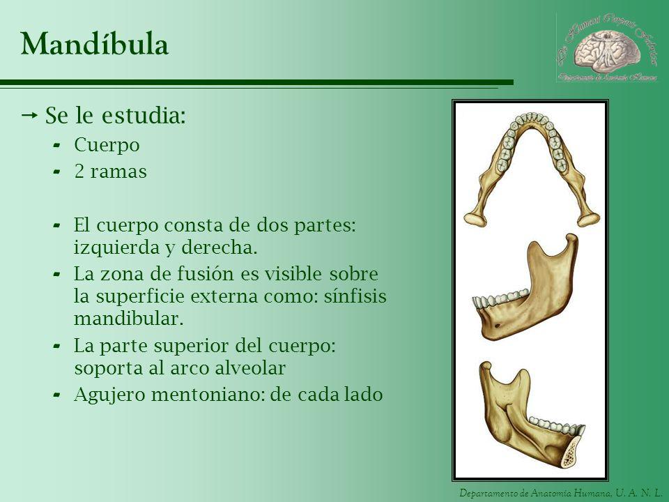 Departamento de Anatomía Humana, U. A. N. L. Mandíbula Se le estudia: - Cuerpo - 2 ramas - El cuerpo consta de dos partes: izquierda y derecha. - La z