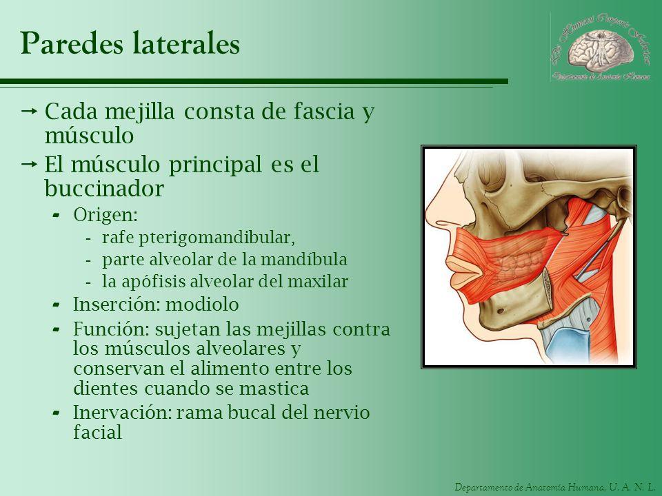 Departamento de Anatomía Humana, U. A. N. L. Paredes laterales Cada mejilla consta de fascia y músculo El músculo principal es el buccinador - Origen: