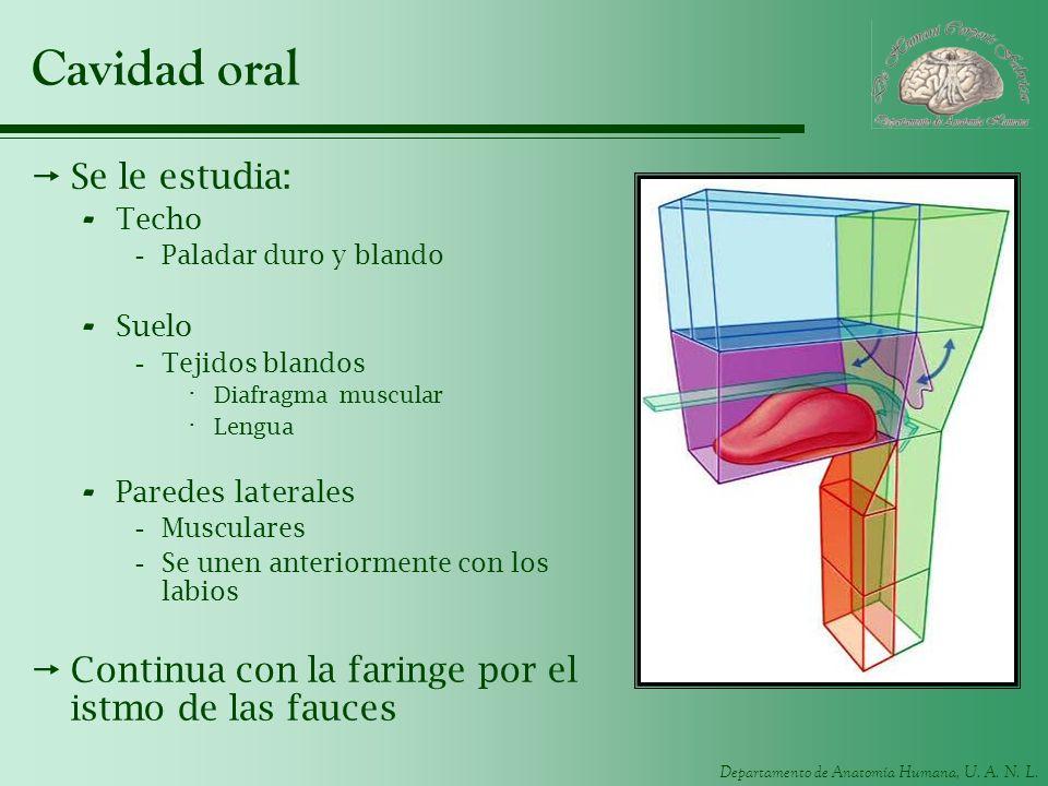 Departamento de Anatomía Humana, U. A. N. L. Cavidad oral Se le estudia: - Techo -Paladar duro y blando - Suelo -Tejidos blandos · Diafragma muscular