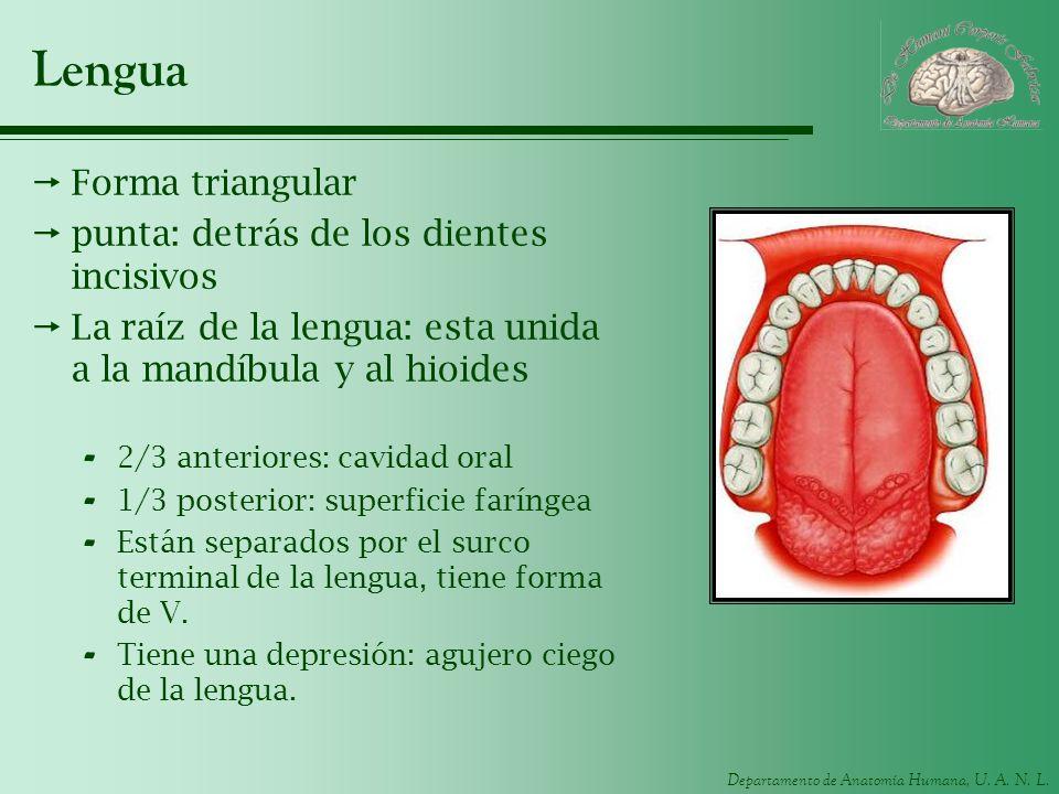 Departamento de Anatomía Humana, U. A. N. L. Lengua Forma triangular punta: detrás de los dientes incisivos La raíz de la lengua: esta unida a la mand