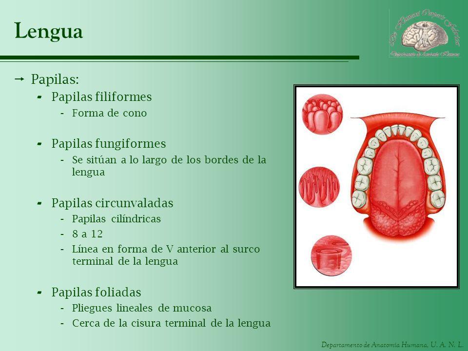Departamento de Anatomía Humana, U. A. N. L. Lengua Papilas: - Papilas filiformes -Forma de cono - Papilas fungiformes -Se sitúan a lo largo de los bo
