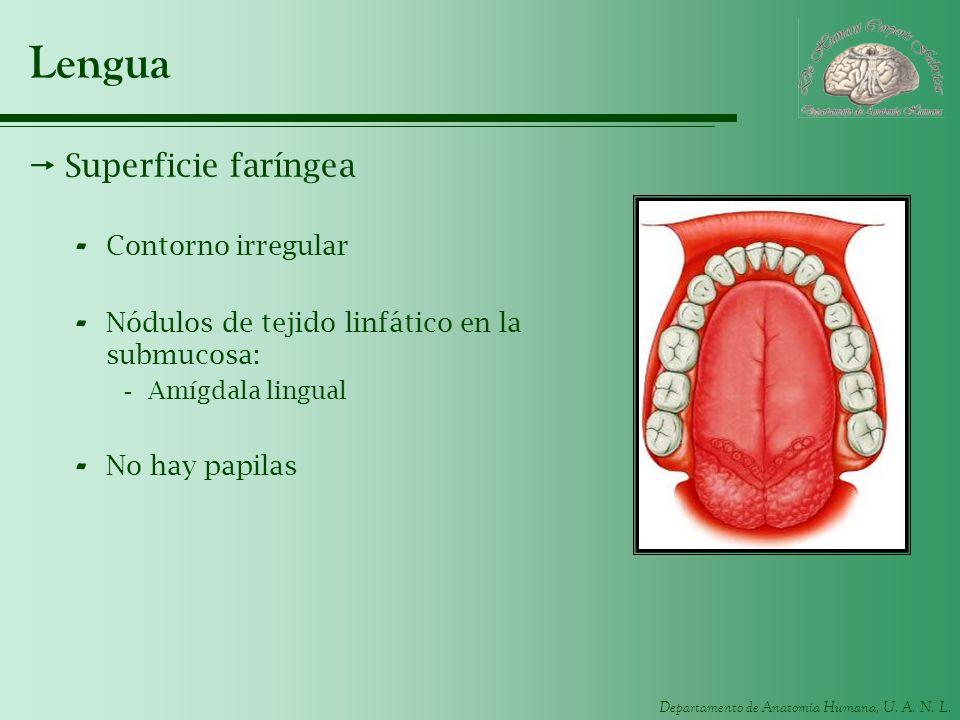 Departamento de Anatomía Humana, U. A. N. L. Lengua Superficie faríngea - Contorno irregular - Nódulos de tejido linfático en la submucosa: -Amígdala