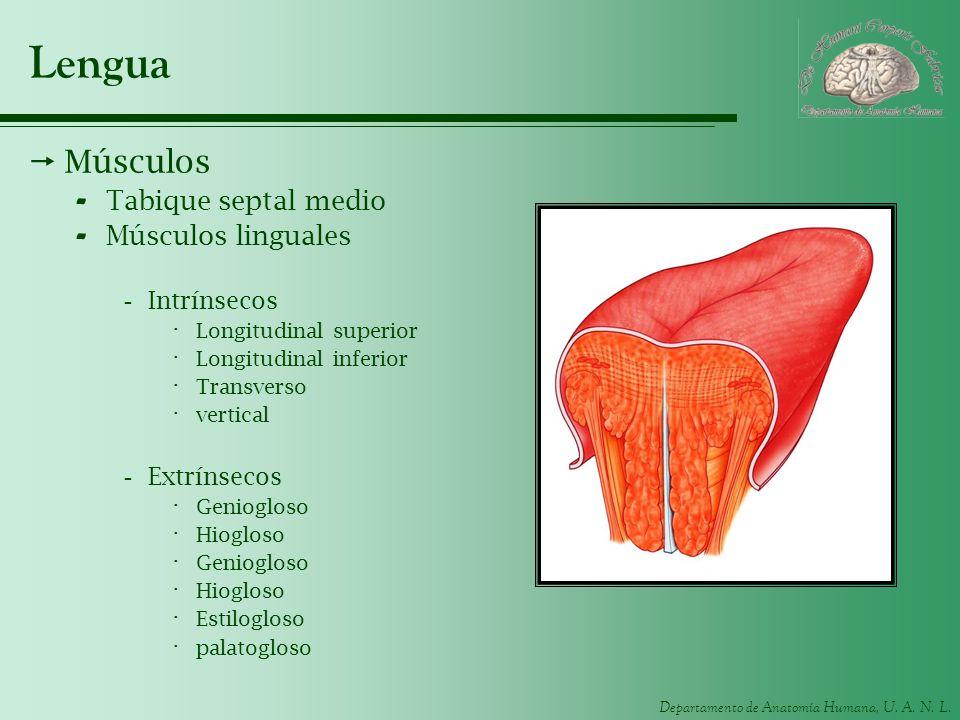 Departamento de Anatomía Humana, U. A. N. L. Lengua Músculos - Tabique septal medio - Músculos linguales -Intrínsecos · Longitudinal superior · Longit