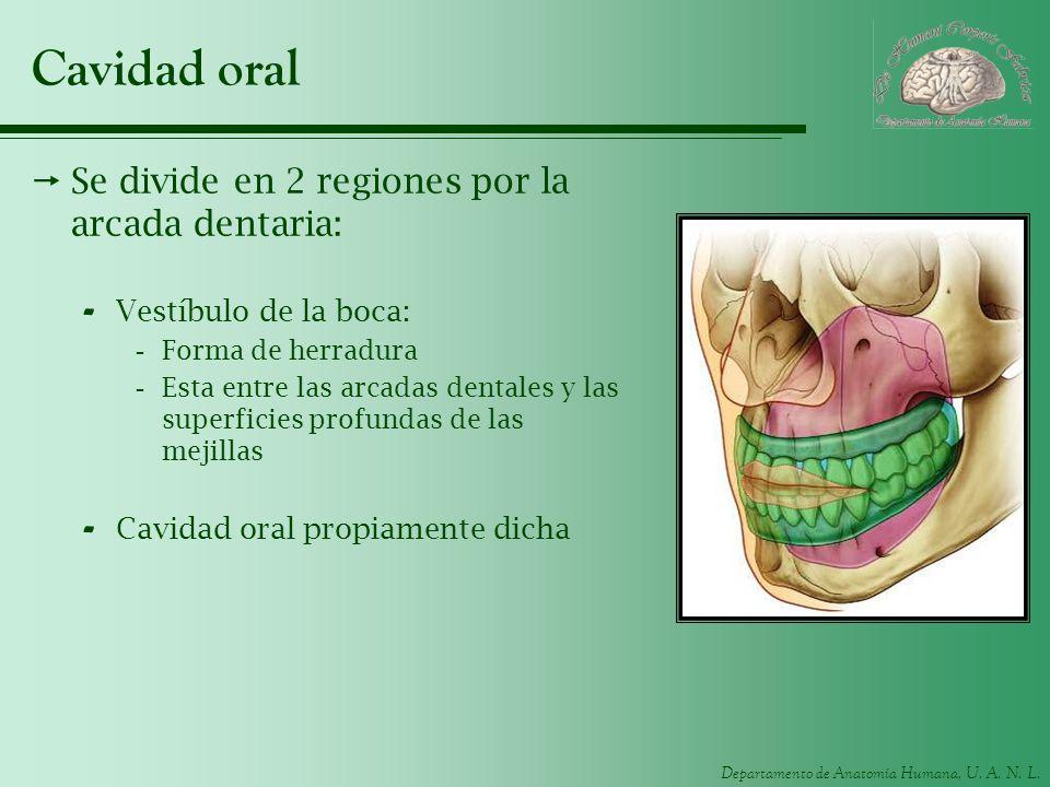 Departamento de Anatomía Humana, U. A. N. L. Cavidad oral Se divide en 2 regiones por la arcada dentaria: - Vestíbulo de la boca: -Forma de herradura