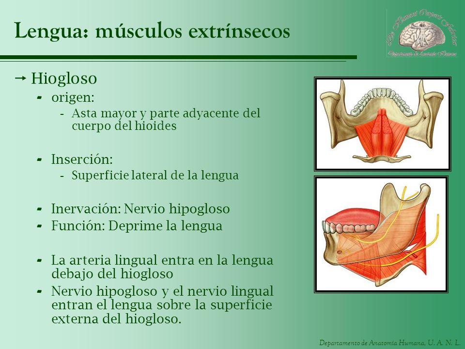Departamento de Anatomía Humana, U. A. N. L. Lengua: músculos extrínsecos Hiogloso - origen: -Asta mayor y parte adyacente del cuerpo del hioides - In
