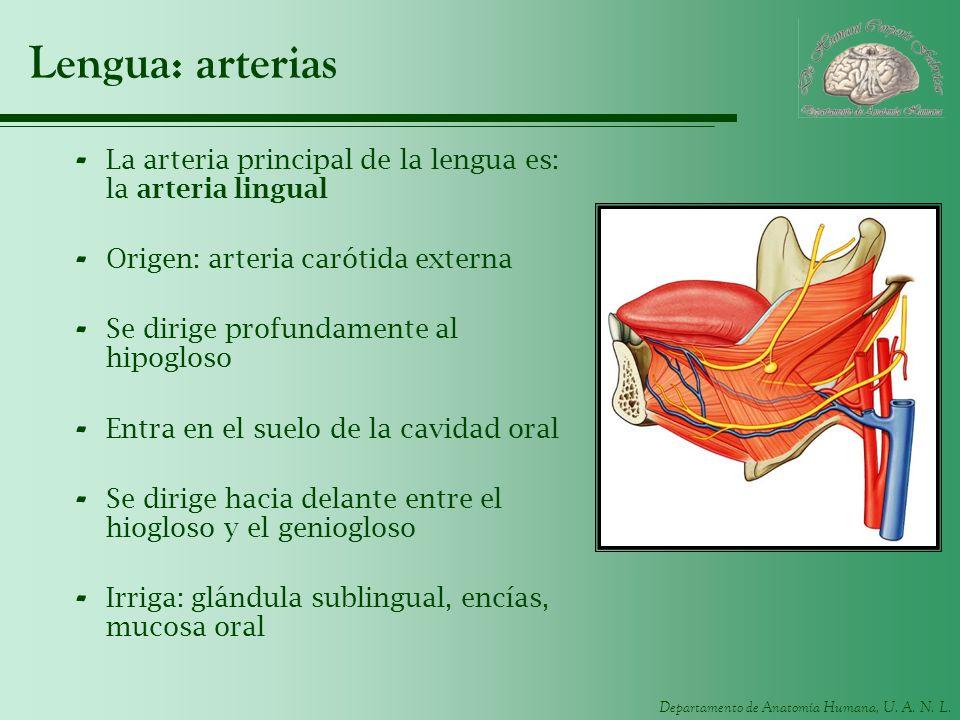 Departamento de Anatomía Humana, U. A. N. L. Lengua: arterias - La arteria principal de la lengua es: la arteria lingual - Origen: arteria carótida ex