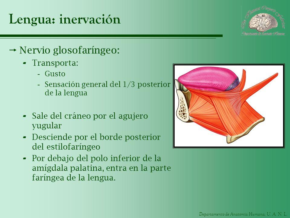 Departamento de Anatomía Humana, U. A. N. L. Lengua: inervación Nervio glosofaríngeo: - Transporta: -Gusto -Sensación general del 1/3 posterior de la