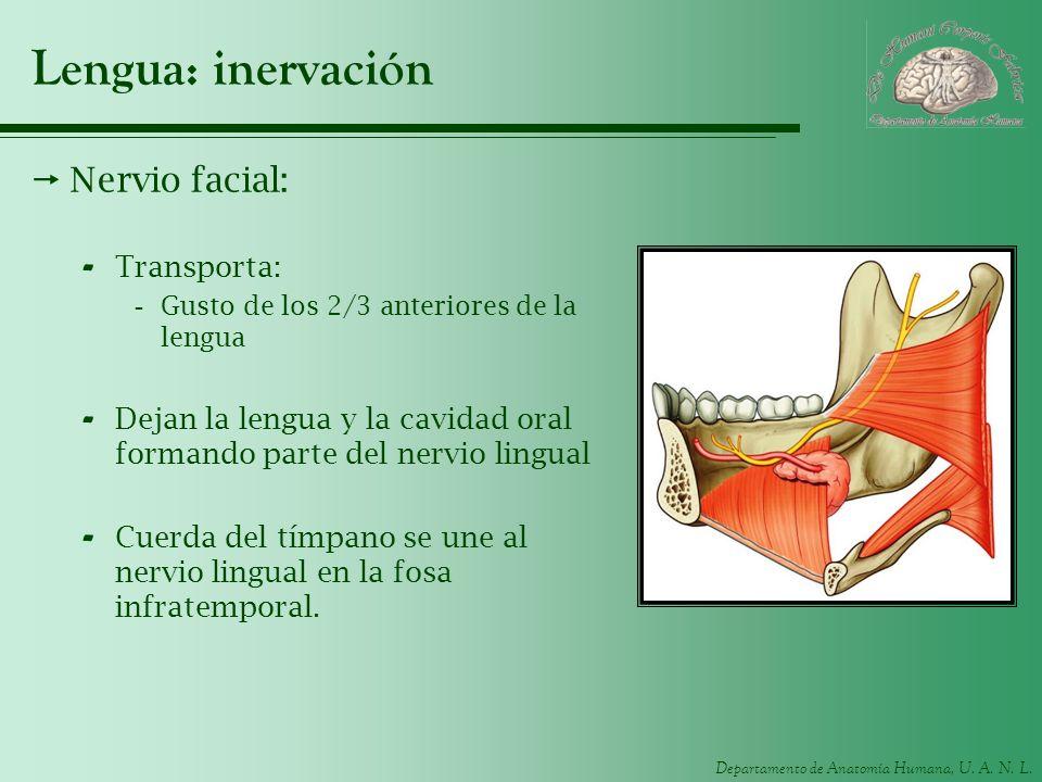 Departamento de Anatomía Humana, U. A. N. L. Lengua: inervación Nervio facial: - Transporta: -Gusto de los 2/3 anteriores de la lengua - Dejan la leng