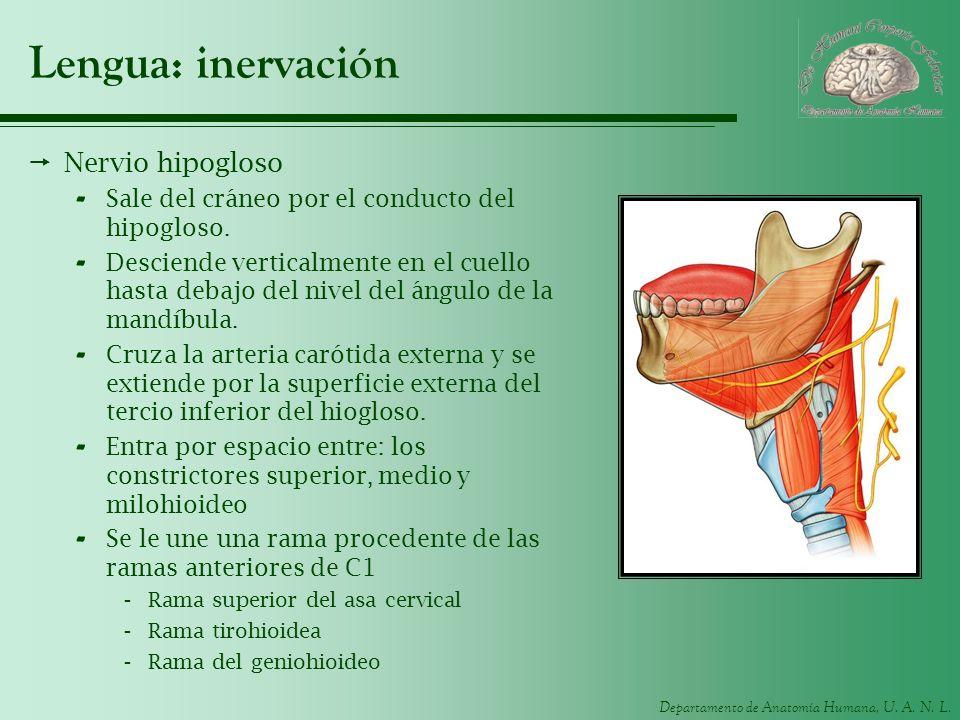 Departamento de Anatomía Humana, U. A. N. L. Lengua: inervación Nervio hipogloso - Sale del cráneo por el conducto del hipogloso. - Desciende vertical