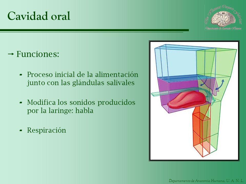Departamento de Anatomía Humana, U. A. N. L. Cavidad oral Funciones: - Proceso inicial de la alimentación junto con las glándulas salivales - Modifica