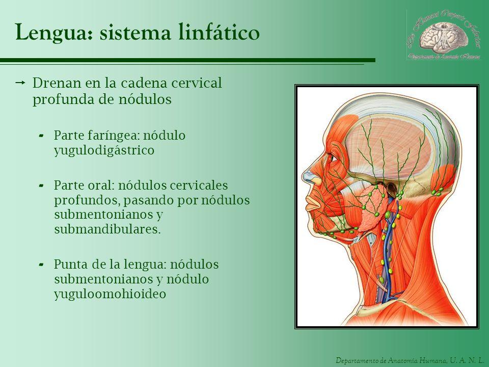 Departamento de Anatomía Humana, U. A. N. L. Lengua: sistema linfático Drenan en la cadena cervical profunda de nódulos - Parte faríngea: nódulo yugul