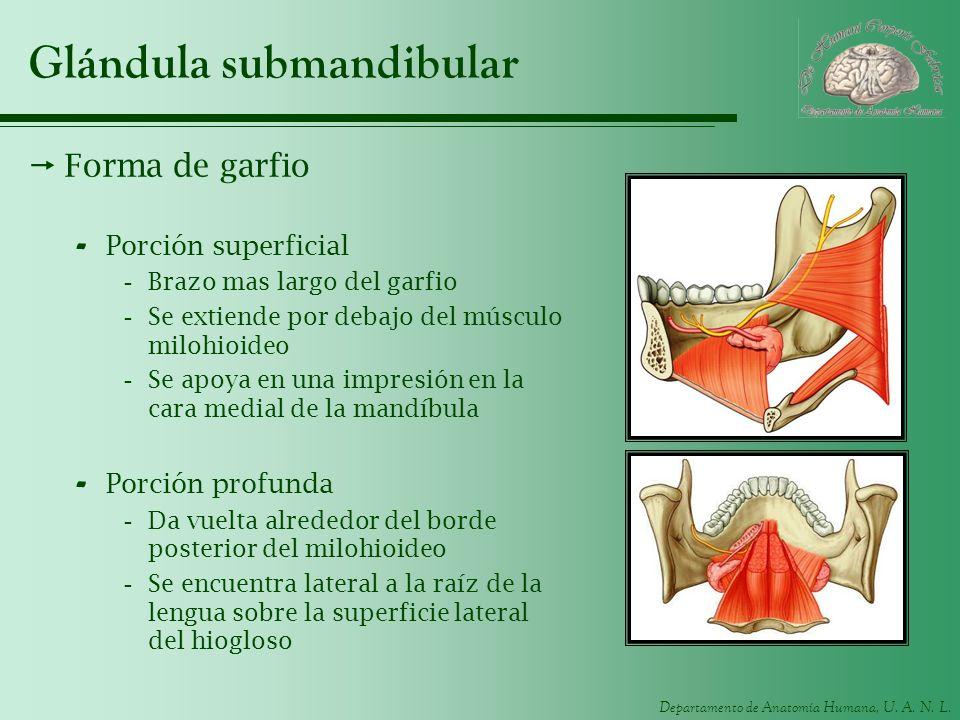 Departamento de Anatomía Humana, U. A. N. L. Glándula submandibular Forma de garfio - Porción superficial -Brazo mas largo del garfio -Se extiende por