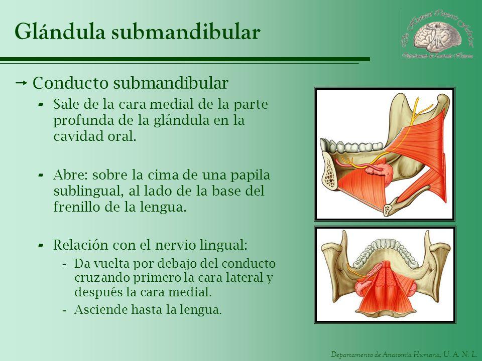 Departamento de Anatomía Humana, U. A. N. L. Glándula submandibular Conducto submandibular - Sale de la cara medial de la parte profunda de la glándul
