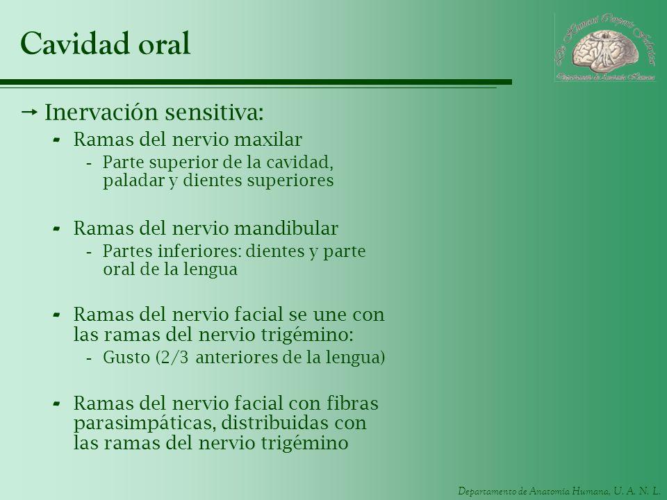 Departamento de Anatomía Humana, U. A. N. L. Cavidad oral Inervación sensitiva: - Ramas del nervio maxilar -Parte superior de la cavidad, paladar y di