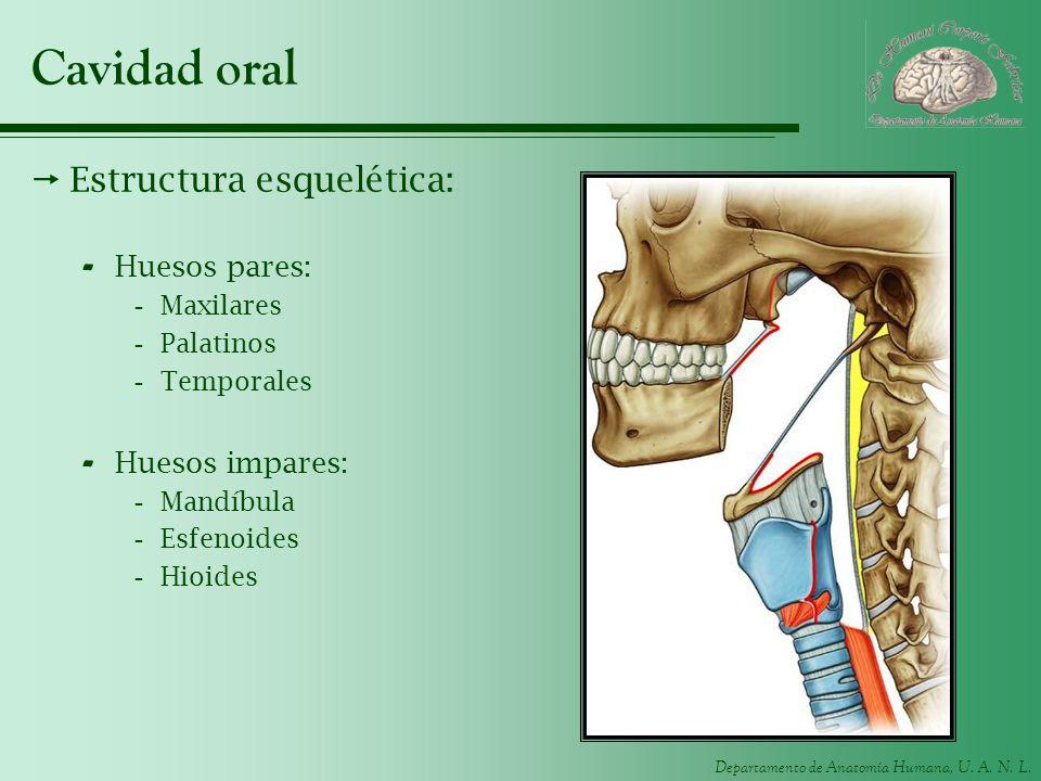 Departamento de Anatomía Humana, U. A. N. L. Cavidad oral Estructura esquelética: - Huesos pares: -Maxilares -Palatinos -Temporales - Huesos impares: