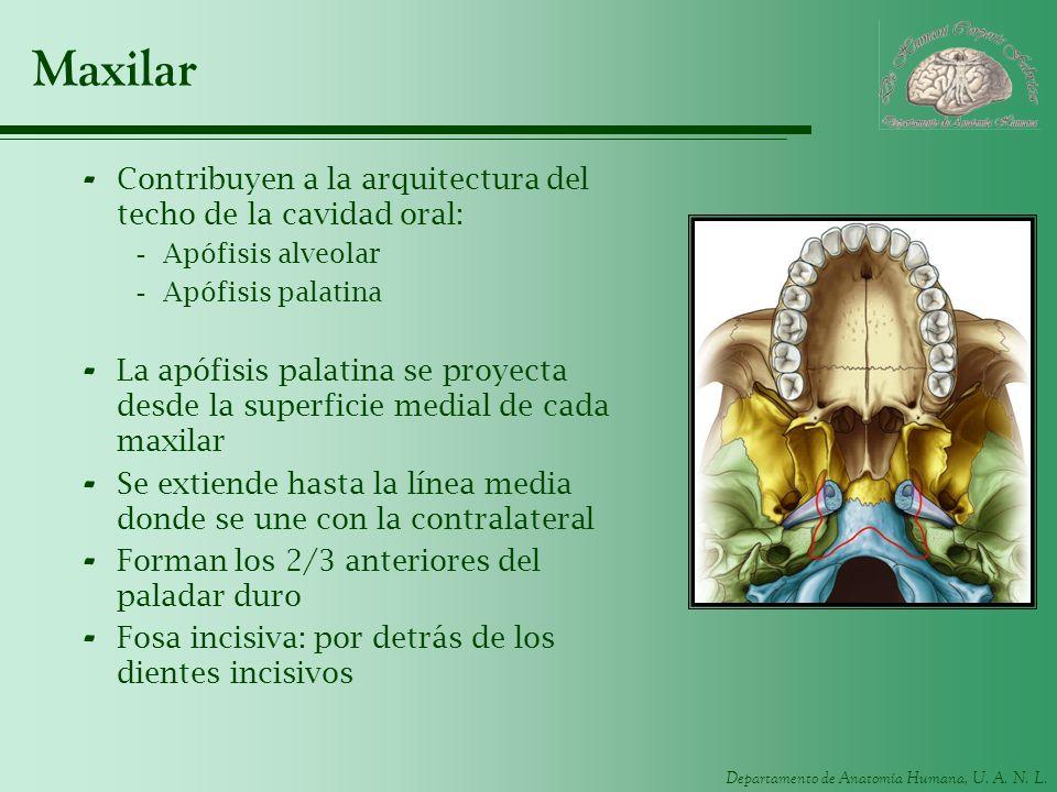 Departamento de Anatomía Humana, U. A. N. L. Maxilar - Contribuyen a la arquitectura del techo de la cavidad oral: -Apófisis alveolar -Apófisis palati
