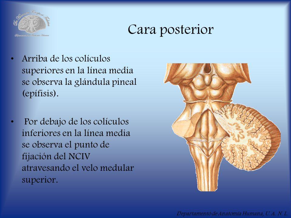 Departamento de Anatomía Humana, U. A. N. L. Cara posterior Arriba de los colículos superiores en la línea media se observa la glándula pineal (epífis