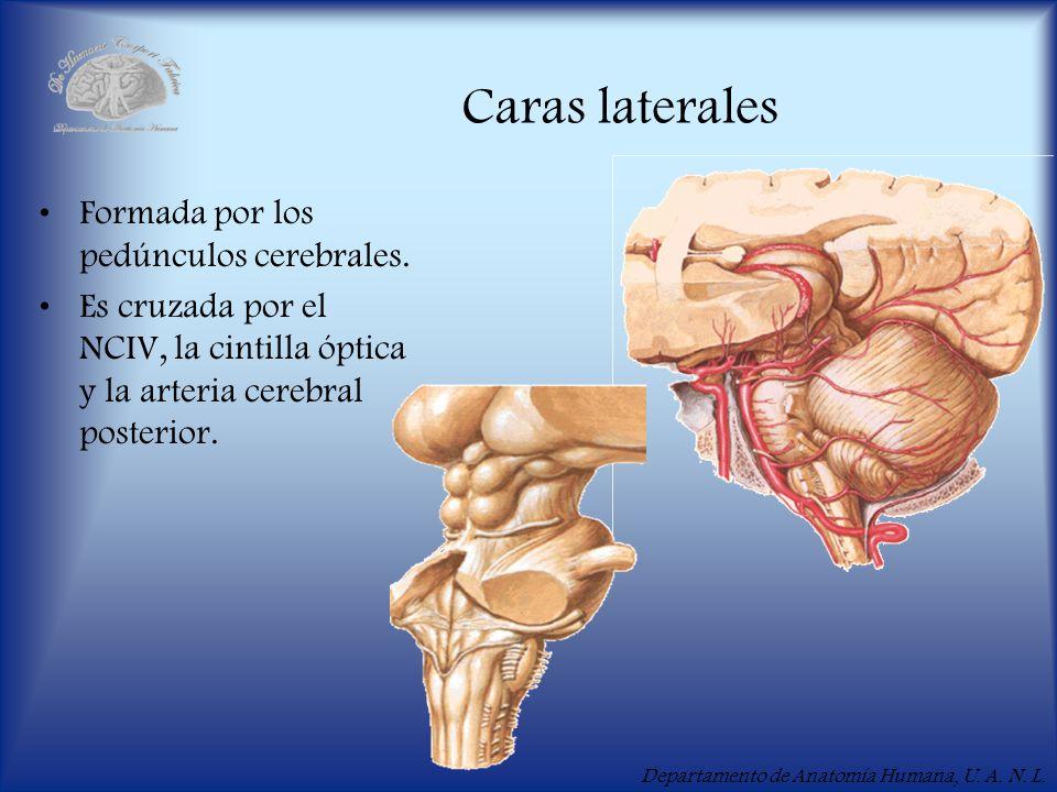 Departamento de Anatomía Humana, U. A. N. L. Caras laterales Formada por los pedúnculos cerebrales. Es cruzada por el NCIV, la cintilla óptica y la ar