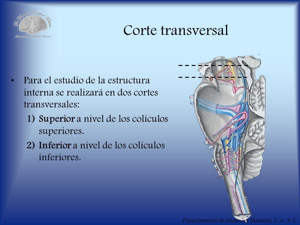 Departamento de Anatomía Humana, U. A. N. L. Corte transversal Para el estudio de la estructura interna se realizará en dos cortes transversales: 1)Su