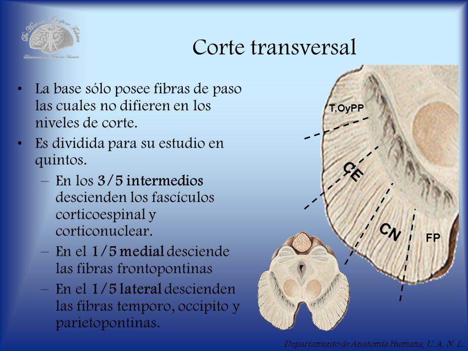 Departamento de Anatomía Humana, U. A. N. L. Corte transversal La base sólo posee fibras de paso las cuales no difieren en los niveles de corte. Es di