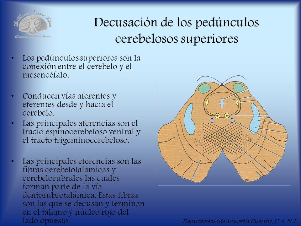 Departamento de Anatomía Humana, U. A. N. L. Decusación de los pedúnculos cerebelosos superiores Los pedúnculos superiores son la conexión entre el ce