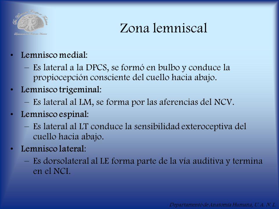 Departamento de Anatomía Humana, U. A. N. L. Zona lemniscal Lemnisco medial: –Es lateral a la DPCS, se formó en bulbo y conduce la propiocepción consc